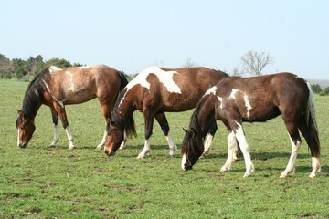 Trio of Spotted Horses Grazing