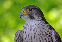 Der Jäger-Falke