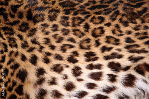 Poster Leopard Skin of the leopard