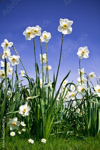 Garden Poster Narcissus Bush of Narcissus