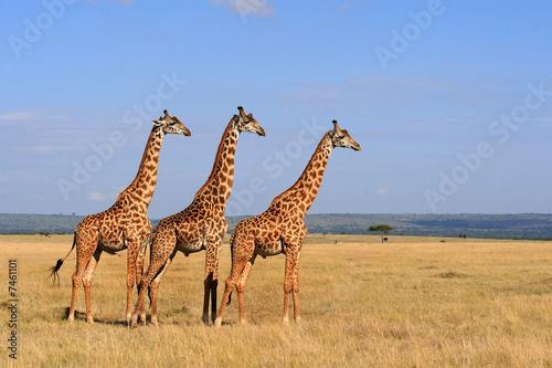 Fotografie, Tablou  giraffes