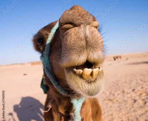 Valokuva camel