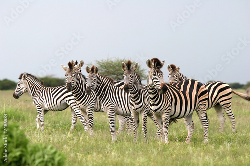 Cadres-photo bureau Zebra Herd Burchell's zebras
