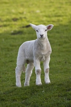 Spring Lamb In A Field