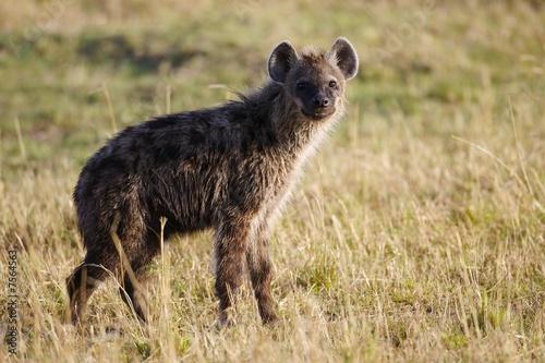 In de dag Hyena African Hyena