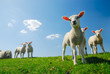 canvas print picture - cute lambs in spring