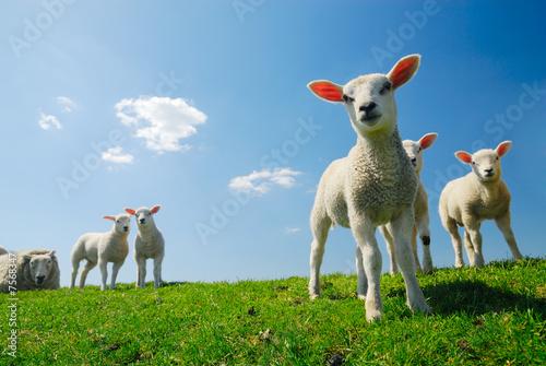 Fototapeta cute lambs in spring