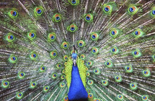 Beautiful Peacock Spreading Its Tail