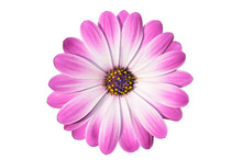 Flower Of African Daisy