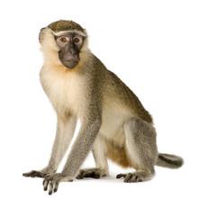 Vervet Monkey - Chlorocebus Py...