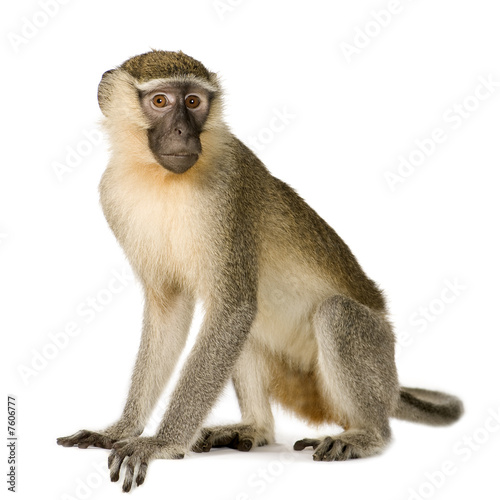 Photo sur Aluminium Singe Vervet Monkey - Chlorocebus pygerythrus