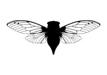 Cicada (Singzikade)