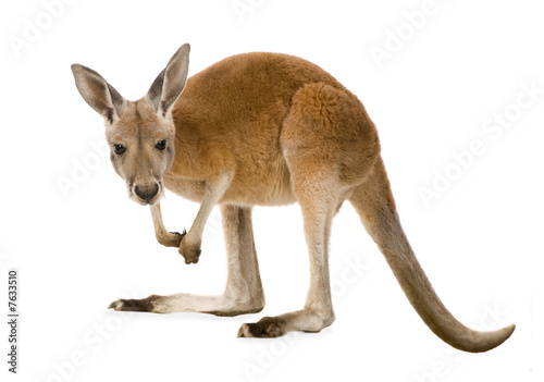 Cadres-photo bureau Kangaroo Young red kangaroo (9 months) - Macropus rufus