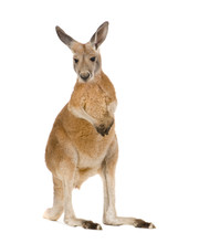 Young Red Kangaroo (9 Months) ...