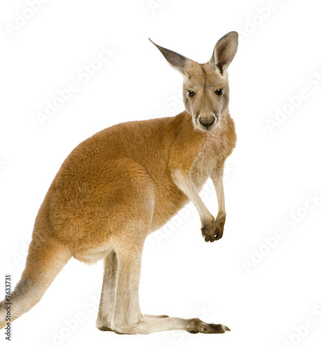 Spoed Foto op Canvas Kangoeroe Young red kangaroo (9 months) - Macropus rufus