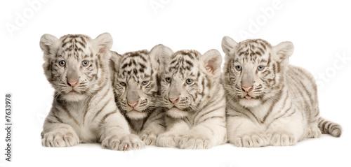 In de dag Tijger White Tiger cub (2 months)