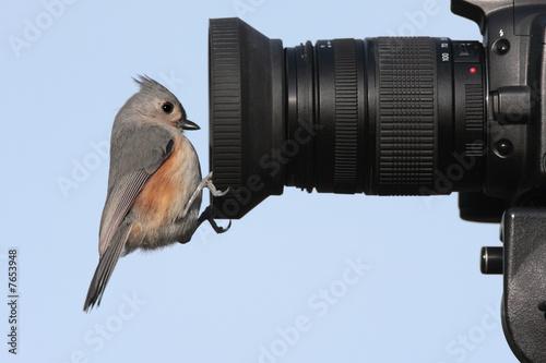 Sticker - Tufted Titmouse (baeolophus bicolor) on a camera lens