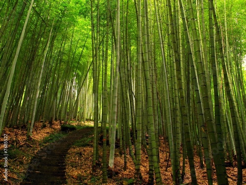 Poster Bambou Lush Bamboo Forest