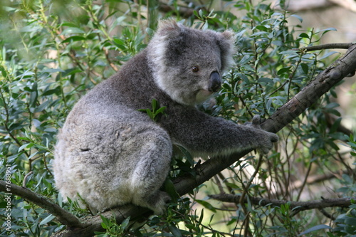 Keuken foto achterwand Koala Koalabär
