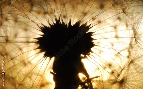 Keuken foto achterwand Paardebloemen en water dandelion seed