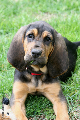 Tablou Canvas A young bloodhound puppy in the grass 1