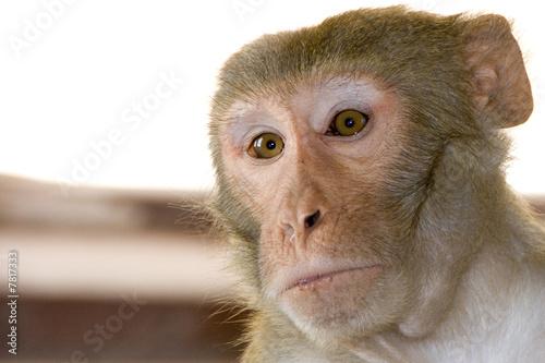 In de dag Sacred monkey in indian temple