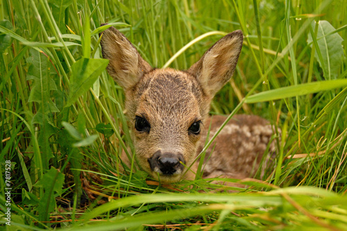 Photo sur Aluminium Roe Bambi
