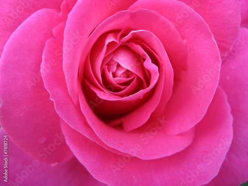 Spoed Fotobehang Roze Flowers