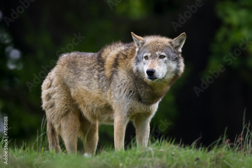 Photo  Timber Wolf on the horizon