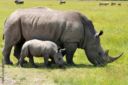 Foto op Aluminium Neushoorn white rhinoceros with 3 weeks calf