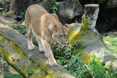 Poster Puma Lioness
