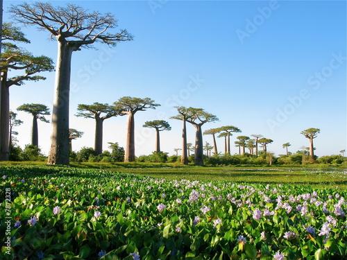 La pose en embrasure Baobab Baobabs
