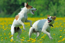 Parson Jack Russell Terriers Playing