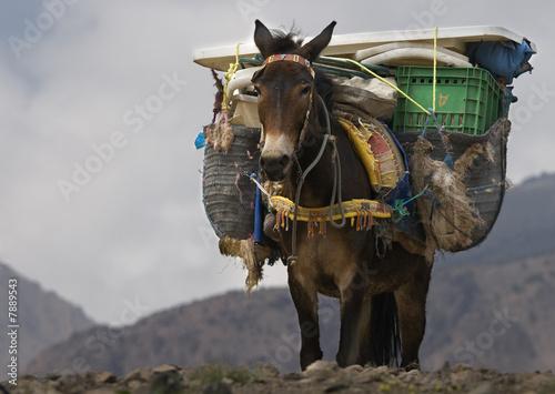 Foto auf Leinwand Esel Muli