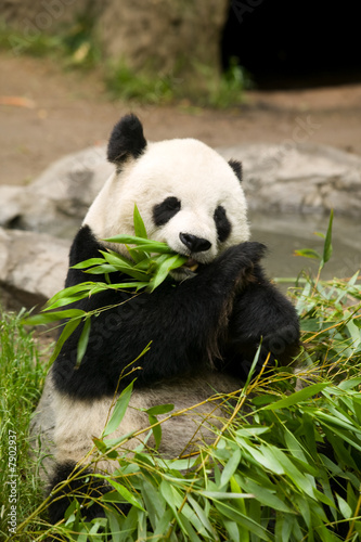 Panda Bear Eating Canvas Print