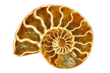 Striking Isolated Single Nautilus Fossil On White Background