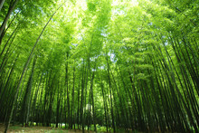 Lush Bamboo Forest