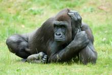 Big Female Gorilla