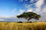 Fototapeta Sawanna - Single acacia tree in savannah