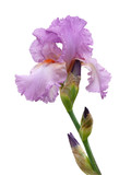 water drop on iris