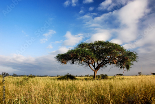 Single acacia tree in savannah Canvas Print