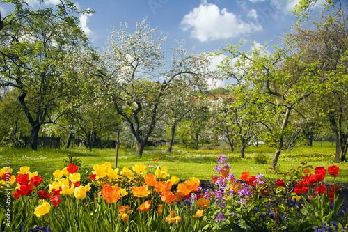 Foto-Schiebegardine ohne Schienensystem - Tulpen vor Streuobstgarten