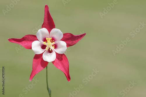 Photo Wild Columbine Flower (aquilegia) in spring