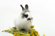 Leinwandbild Motiv Baby rabbit with a dandelion