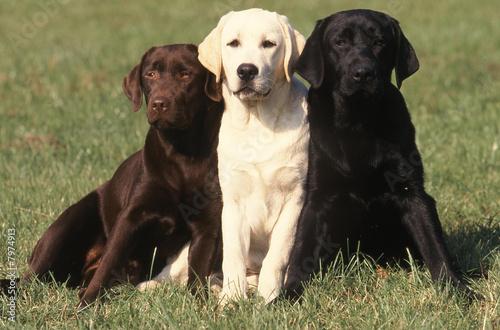 Obraz na płótnie chien Labrador retriever