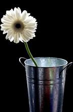 Gerbery In Vase