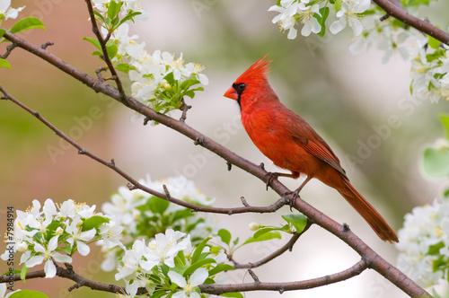 Northern Cardinal Fototapeta