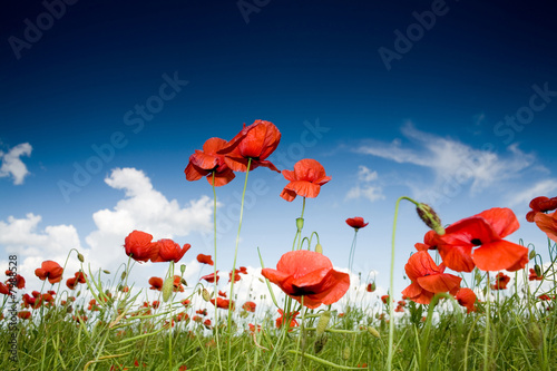 Foto auf Gartenposter Mohn Field with poppies under dark sky