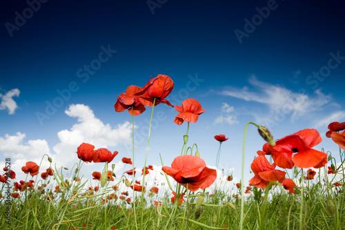 Foto-Duschvorhang - Field with poppies under dark sky
