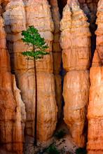 Pine Tree And Hoodoos, Bryce C...